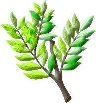 sprig of acacia.jpg